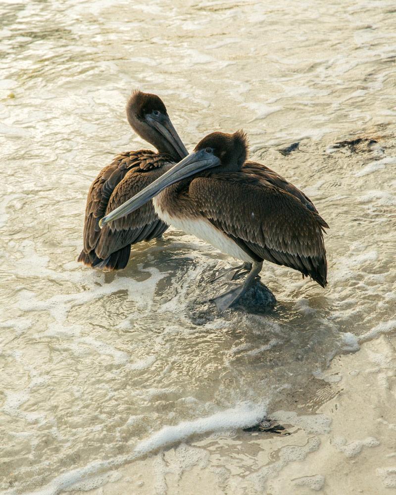 Utflykt med pelikaner i Florida USA